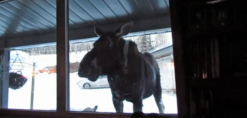 Watch Moose Stands On Porch Watches Tv Through Window