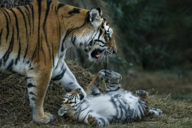 Rare Siberian tiger mom seen caring for cubs in China ... Leopard Cubs With Mother