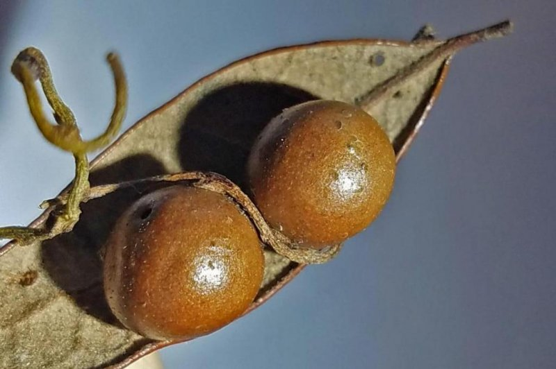 Battle of the parasites: Love vine sucks the life from gall wasps