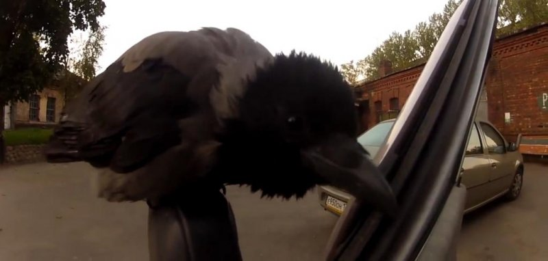 Watch Crow Tries To Munch On Car S Rubber Insulation
