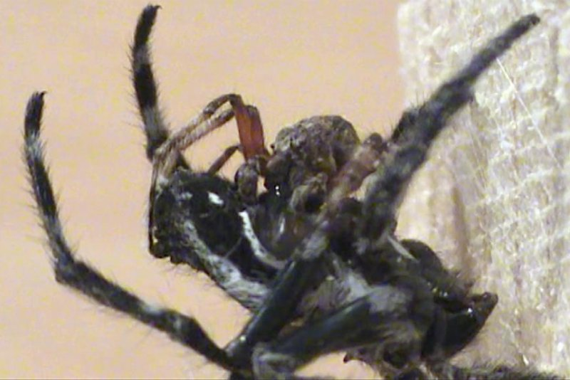 New Research Highlights Oral Sex Between Spiders - Upicom-3337