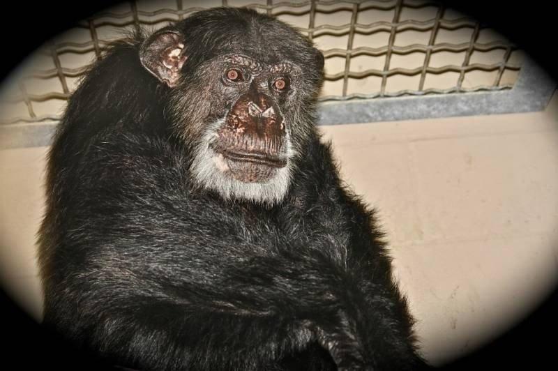 'Tarzan' co-star Cheetah the chimp dead at 80 - UPI.com