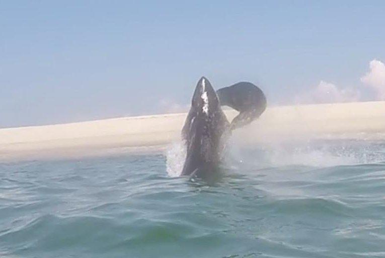 Watch: Leaping seal slaps shark in midair - UPI com
