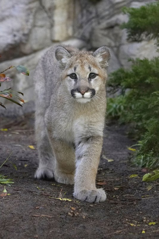 mountain lion that attacked calif boy faces death sentence. Black Bedroom Furniture Sets. Home Design Ideas
