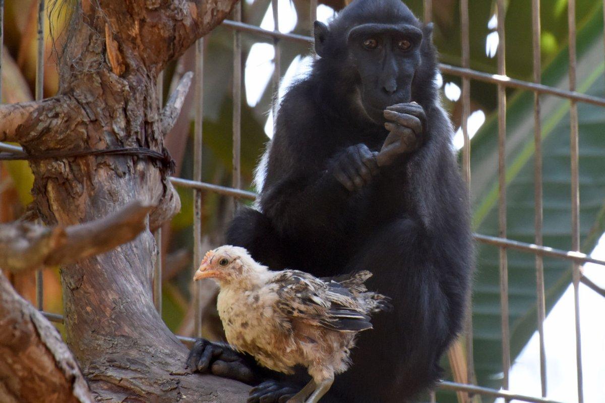 Look: Monkey, chicken form familial bond at Ramat Gan Safari