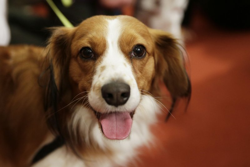 Two New Dog Breeds Given American Kennel Club Recognition