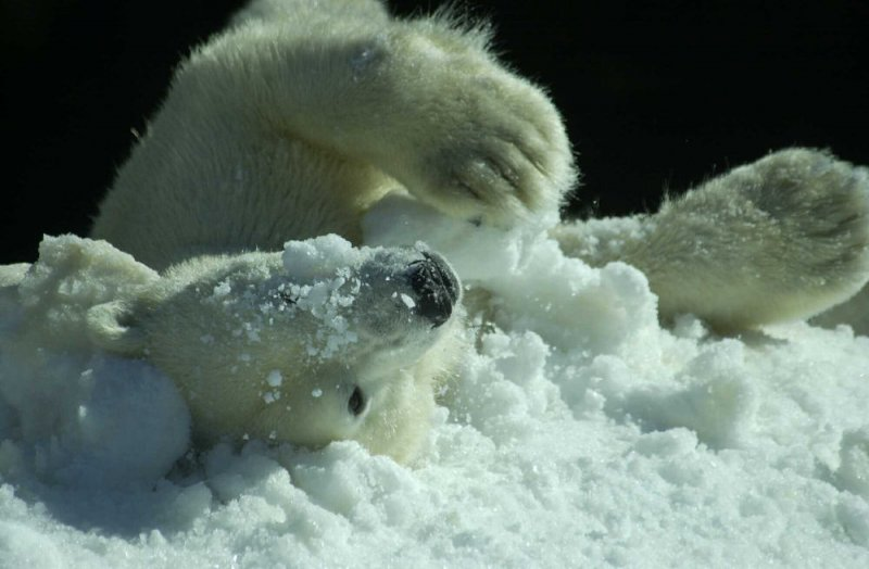 Arctic food affects mercury in polar bears for Blums fishing almanac