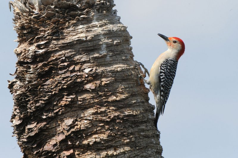 all that pecking may give woodpeckers brain damage upicom