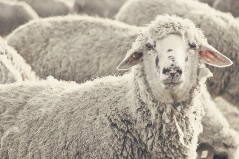 Human cells grown in sheep embryos may lead to advances in organ transplants