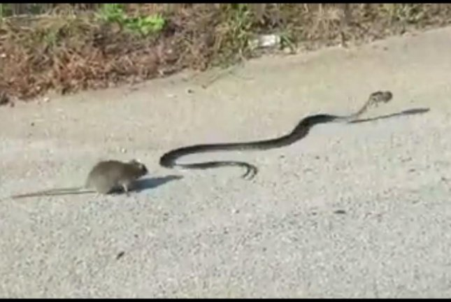 Get away from her! the mother rat is (probably) saying to the baby-snatching snake. Screenshot: JukinMedia