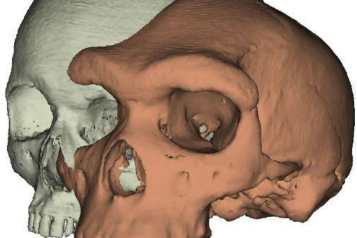 The large brow of an early hominin is juxtaposed with the small, flat forehead of a modern human. Photo by Paul O'Higgins/University of York