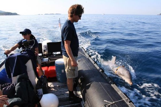 Bottlenose dolphins being deployed for minesweeping training during the RIMPAC naval exercise. Photo courtesy of SPAWAR Systems Center pacific/U.S. Navy