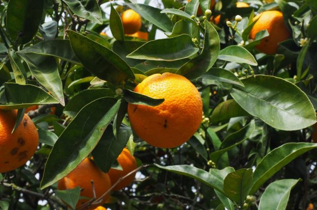 The coming storm has the potential to severely disrupt crops in the Southeast, such as Florida's famous orange industry. File Photo by Hans/Pixabay/UPI