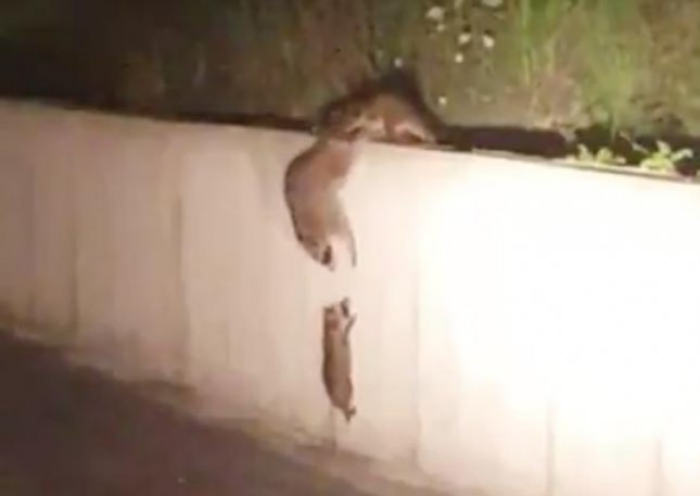 A man captured video of a pair of raccoons working together to help a baby raccoon scale a concrete wall. The two raccoons formed a chain to reach down to the ground and grab the raccoon before helping to carry the baby over the wall.  Screen capture/Koksal Akin/Twitter