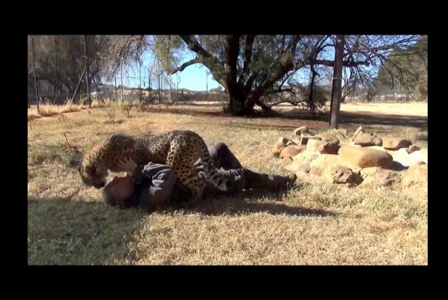 Dolph C. Volker and Gabriel the cheetah bond at the Cheetah Experience sanctuary in South Africa. Screenshot: Storyful