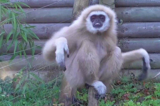 A gibbon at a British zoo is not pleased to spot a mouse in its enclosure. Screenshot: Newsflare