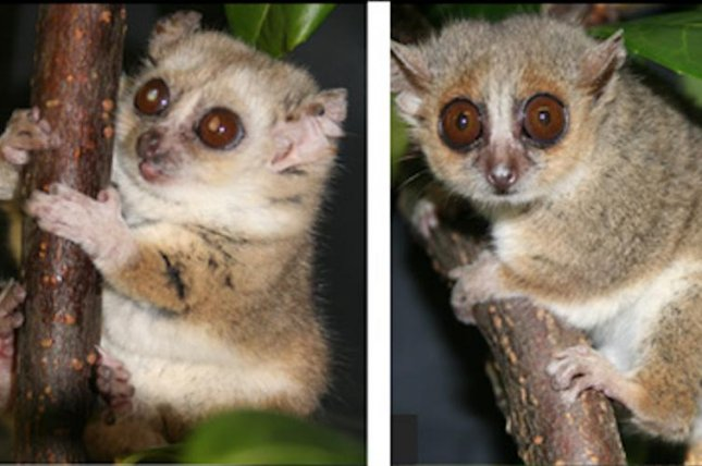 Mouse lemurs who ate less tended to live longer and develop fewer health problems. Photo by CNRS/MNHN