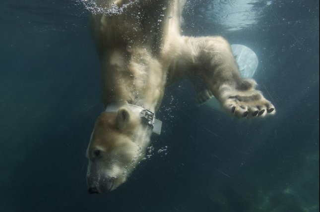 A polar bear dives while wearing a satellite-tracked collar tag. Photo by San Diego Zoo Global