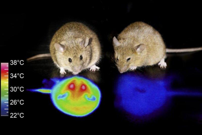 冬眠のような状態のマウスモデルは、代謝と体温を大幅に低下させました。 筑波大学撮影