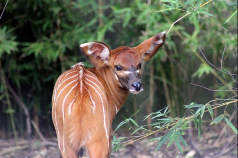 Australian zoo announces eastern bongo birth