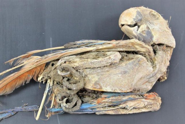 A mummified scarlet macaw, recovered from Pica 8 in Chile, suggests that live birds -- parrots have also been found -- were used in trade and transported to oasis communities in South America, researchers say. Photo by Calogero Santoro/Jose Capriles/University of Tarapaca/Penn State