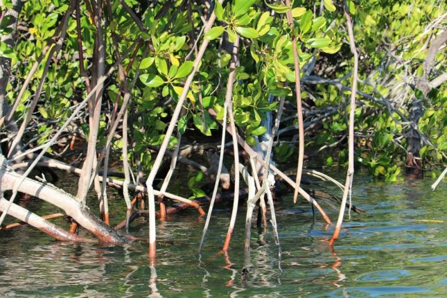 Mangrove forests offer billions of dollars in flood protection to vulnerable coastlines. Photo by Needpix/CC
