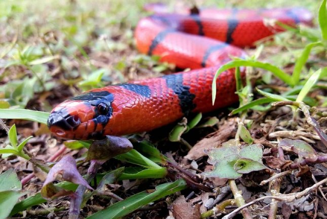 A sporting goods store that opened for the first time since the coronavirus lockdown began had to close again for several hours when a Honduran milk snake was found inside. Photo by cubialpha/Pixabay.com