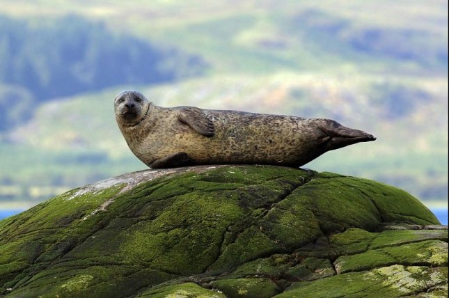 The avian flu strain that killed roughly one-tenth of the seal population -- harbor seals, like the one pictured, and gray seals -- in northern Europe in 2014 has been identified by researchers, according to a new study. Photo by Charles J. Sharp/Wikimedia