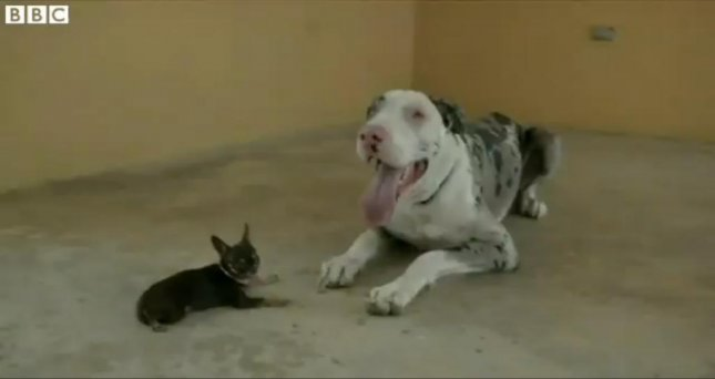 Miracle Milly, the world's smallest dog, poses with a great Dane. BBC video screenshot