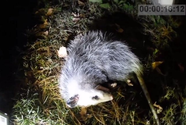 Watch: Man leaves camera to record 'dead' opossum coming