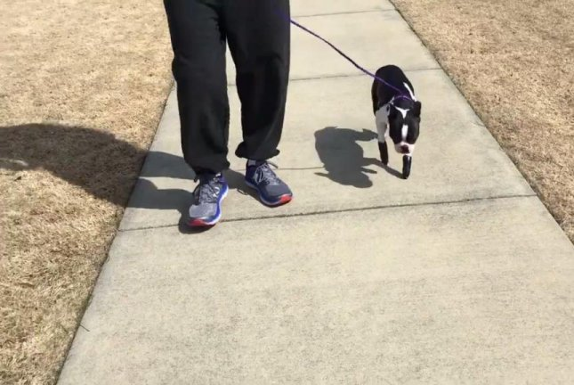 Teddy the Boston terrier is having an easier time getting around this National Puppy Day thanks to his prosthetic paws. Screenshot: Barbara Bradley/Facebook