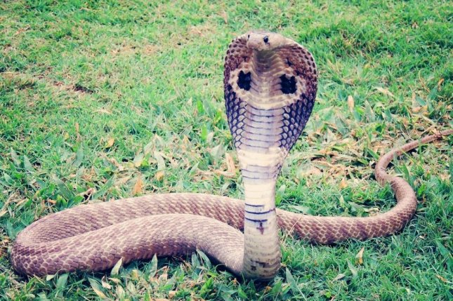An 8-foot-long, venomous king cobra was captured at a gym inAmersfoort, Netherlands, after being discovered by a startled employee. Photo byantriksh/Pixabay.com