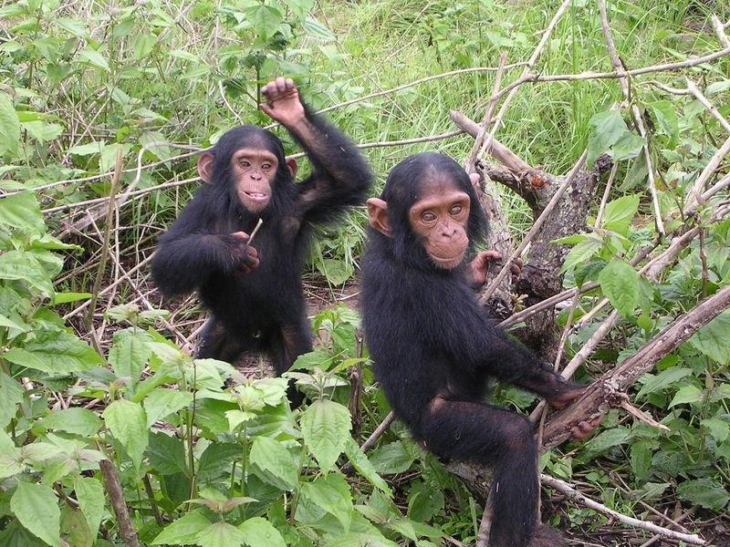 Ape tantrums: Chimps and bonobos get emotional