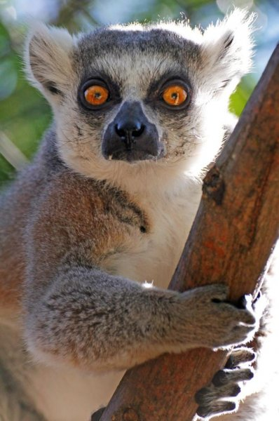 The Sacramento Zoo is giving a temporary home to a ring-tailed lemur found in a Turlock, Calif., man's yard. Photo courtesy of the Sacramento Zoo