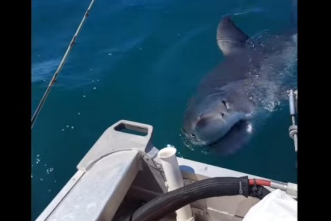 A great white shark stalking a fisherman off New Zealand comes in for an uncomfortably closer look. Screenshot: Storyful/YouTube