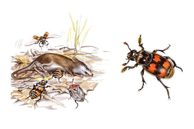 Burying beetles carve out love nests in dead animals. Photo by Panaiotidi/Shutterstock