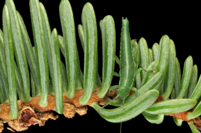 A stick insect disappears among a row of pine needles. Researchers sequenced the genomes of more than 1,000 stick insects to better understand speciation. Photo by Moritz Muschick/USU