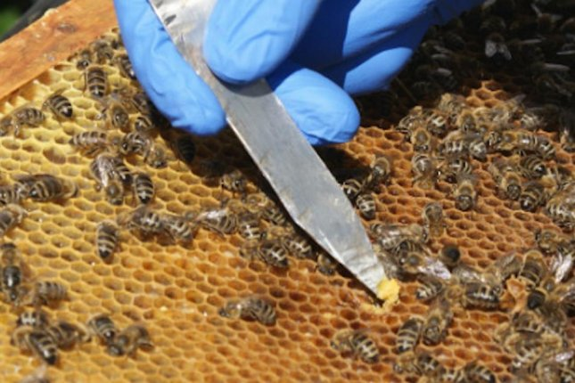 Scientists measure the bacterial diversity found in bee bread collected from the hives of honeybees. Photo by Philip Donkersley/Lancaster University