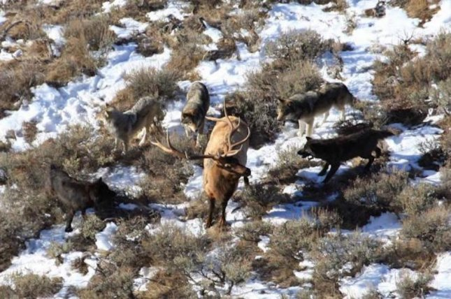 For wolves, taking down an elk with antlers is more dangerous work. Photo by Dan Stahler/National Park Service