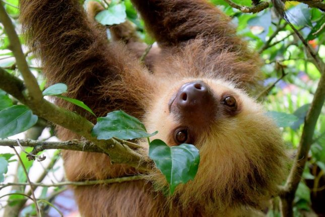 Species that spend most of their time in positions and movements that put constant tension on their arms, like sloths and tree-loving apes, feature greater variation in the number of vertebrae. Photo by pixabay/CC
