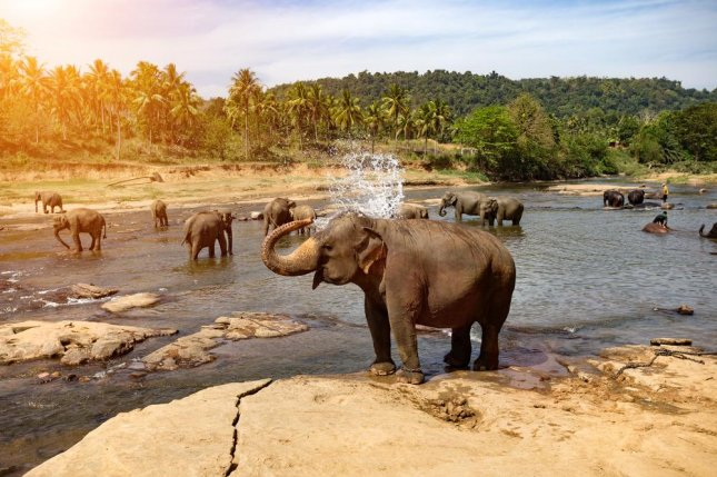 Asian elephant herds are more egalitarian than African elephant herds, new research shows. Photo by Travel landscapes background/Shutterstock