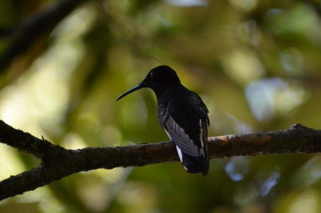 Black jacobin hummingbirds, Florisuga fusca, chirp at uniquely high-frequency pitches. Photo by Ana Lucia Mello/Cell Press