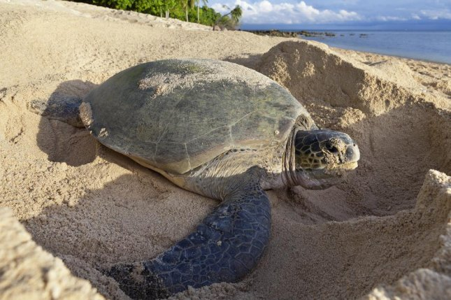 New research proves the presence of debris on the beach affects the nesting behaviors of Florida sea turtles. Photo by David Evison/Shutterstock