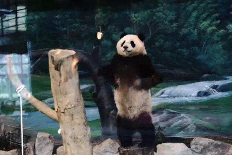 Yuan-Zai of the Taipei Zoo was dubbed Kung-Fu Panda by witnesses to her energetic display. Newsflare video screenshot