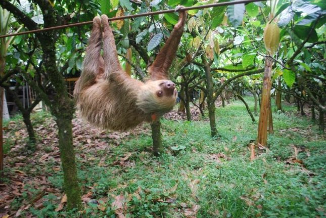 Researchers say the sloth's sluggishness is the unavoidable result of adapting to a life in the trees and a leaf-only diet. Photo by Zach Peery/University of Wisconsin
