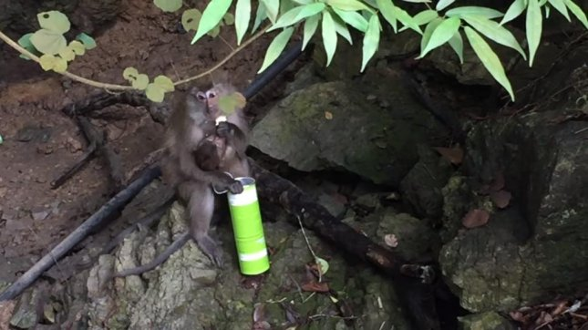 A monkey with a baby enjoys a can of Pringles stolen from tourists. Screenshot: JukinMedia