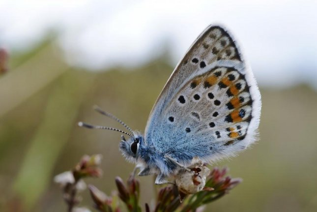 While some butterfly species have expanded their range by adapting to new habitat, the silver-studded blue remains confined to rare heathland and grassland habitats. Photo by Ian Kirk/Wikimedia Commons