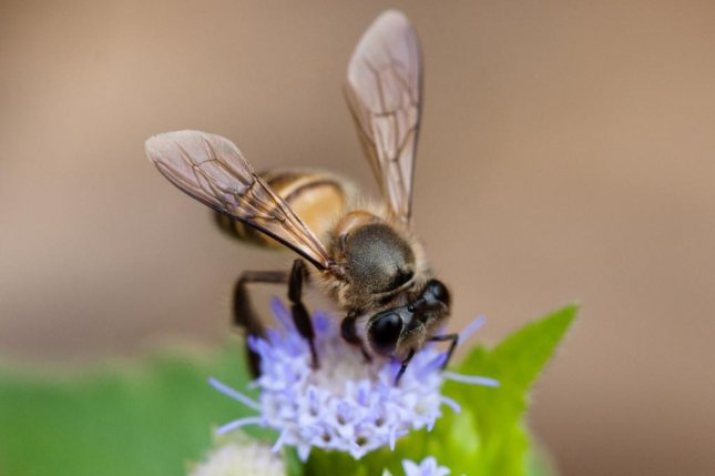 When communicating distance through dance, the eastern honeybee waggles its abdomen longer than other species communicating the same distance. Photo by Wikimedia Commons