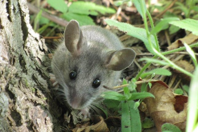 Researchers suggest people use masks and PPE around animals because the new coronavirus is believed to be spreadable among animals, such as the North American deer mouse, and could be difficult to stop. Photo by Seney Natural History Association/Wikimedia