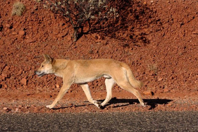 The dingo has been living in Australia for at least 5,000 years. Photo by Jarrod Amoore/Wikimedia Commons